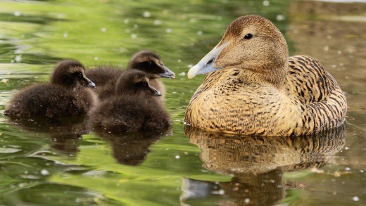 Common Eider with offspring.