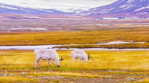 Reindeer grazing in the advent valley - Adventdalen in Svalbard.