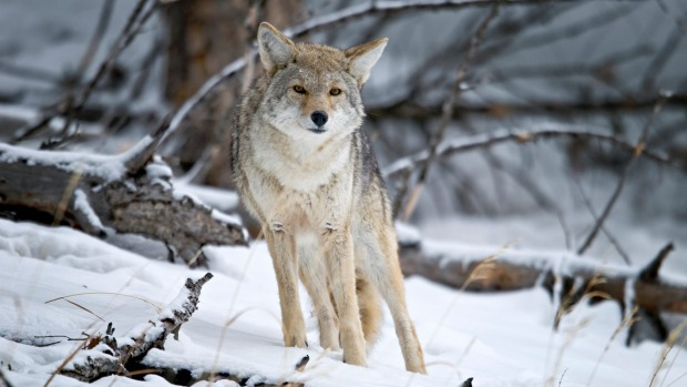 The cold months in Yellowstone are the ideal time for spotting wildlife such as this coyote.