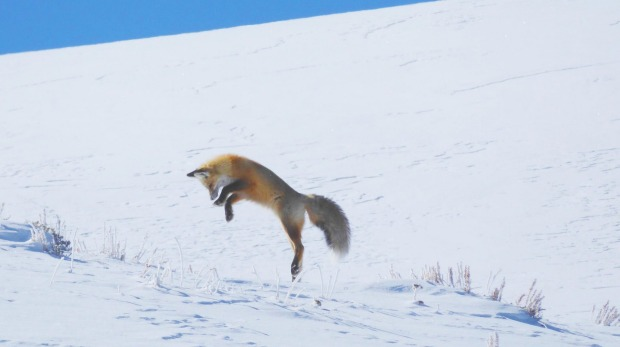 A fox leaps on its prey.