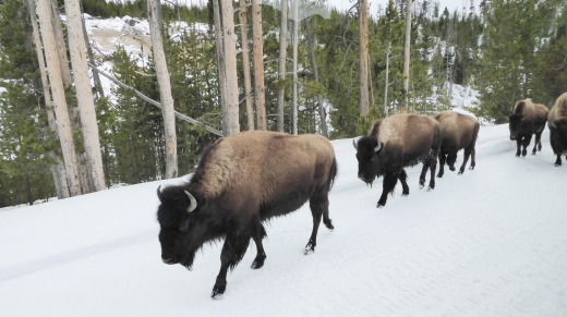 Bison take to the roads in winter.