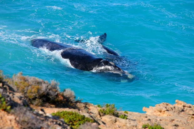 The whales, which grow up to 18 metres, take their name from the fact that they only occur in the southern hemisphere ...