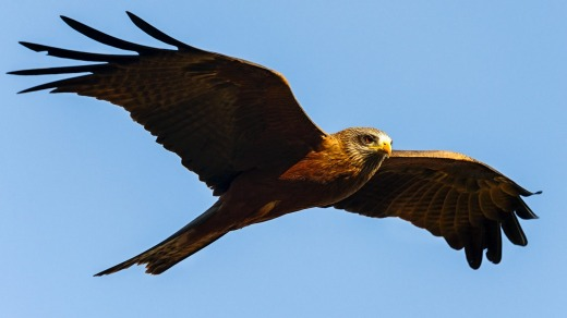 A black kite keeps watch.