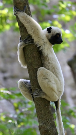 The white sifaka lemurs charm with big amber eyes, puppy-like noses and long, slender fingers and toes.