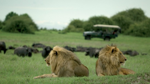A safari trip in the Duba Plains of the Okavango Delta in Botswana offers a chance to get close to lions.