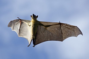 Straw-colored fruit bat (Eidolon helvum), flying over daytime roost. Kasanka National Park, Zambia.