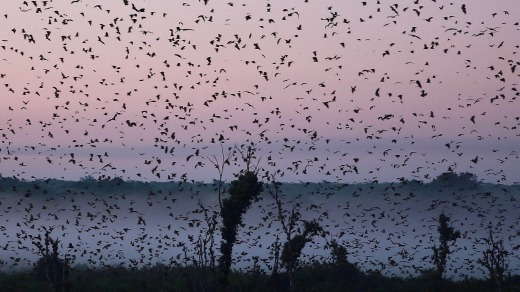 The Kasanka National Park attracts a cacophonous gathering of up to 12 million fruit bats from late October to early ...