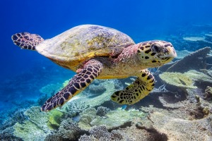 Sea turtle on coral reef on the Maldives.