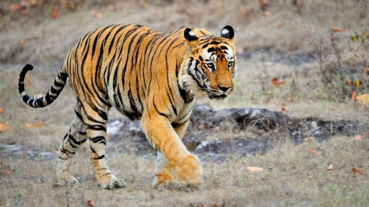 An Indian tiger in the wild. Royal Bengal tiger in national park of India.