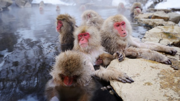 Japanese Snow Monkeys in Yudanaka, Nagano, Japan. tra10cover-century Wildlife Encounters ? Brian Johnston Credit: iStock