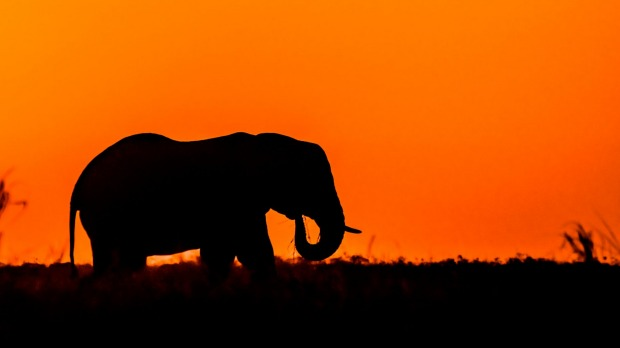 A bull elephant feeds at sunset.