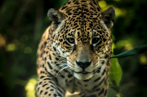 The jaguar is the only extant Panthera species native to the Americas.