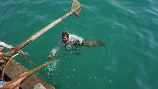 A pearl diver resurfaces with oysters - which may contain pearls.