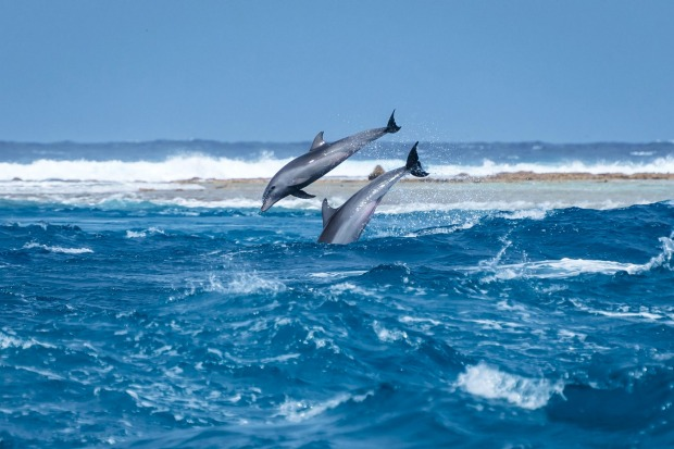 A spectacular display by the dolphins of Tiputa Pass, Tahiti. Every day the dolphins ride the tides and put on a show of ...