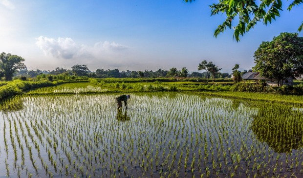 A Balinese farmer sows his rice crop in the rural areas of Bali, Indonesia.
