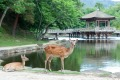 The 1200 deer living in Nara roam freely.