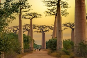 Sunset in the famous Avenida de Baobab near Morondava in Madagascar.