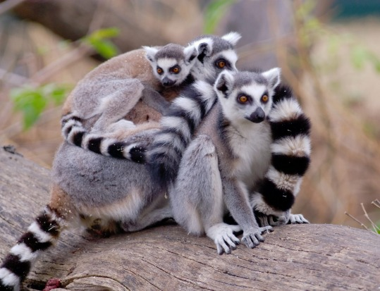 A group of ring-tailed lemurs (Lemur catta) in Madagascar.