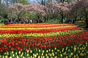 A spring display of tulips at Keukenhof in the Netherlands.