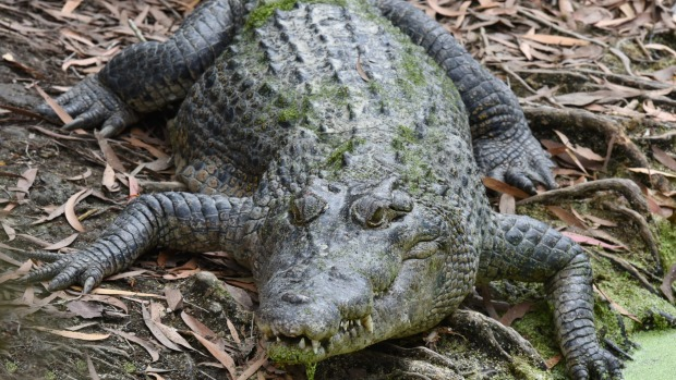 The crocs are one of the attractions of the mangroves up Hills Creek, Cairns.
