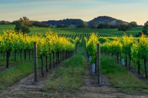 Sunset in the vineyards of Nappa Valley, California.