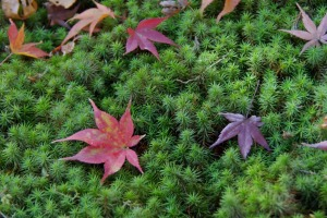 Contemplative: Maple leaves on moss at Tofuku Temple.