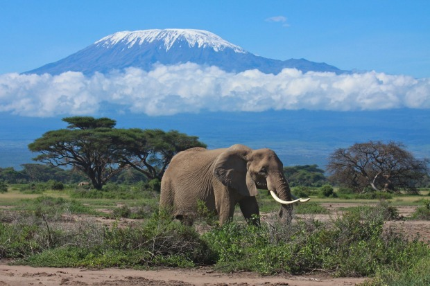 A large female elephant feeds in the  open savanna plains with a snow topped Mount Kilimanjaro in the background.