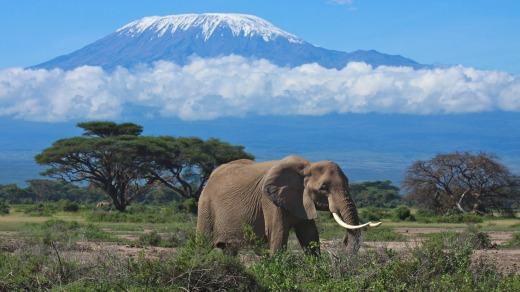 A large female elephant feeds on the savannah with Mount Kilimanjaro in the background.
