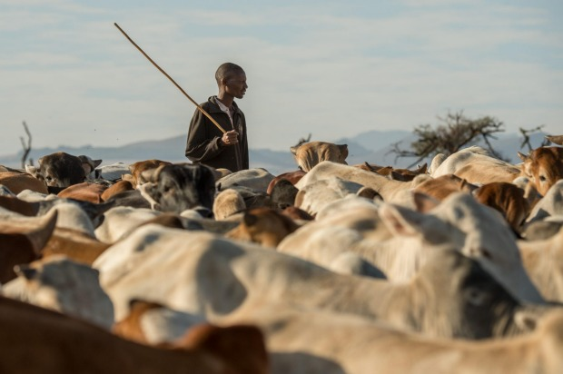 James Punyua tends cattle at Lewa Wildlife Conservancy.