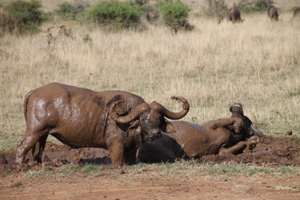 Buffalo mudbath at Nairobi National Park.