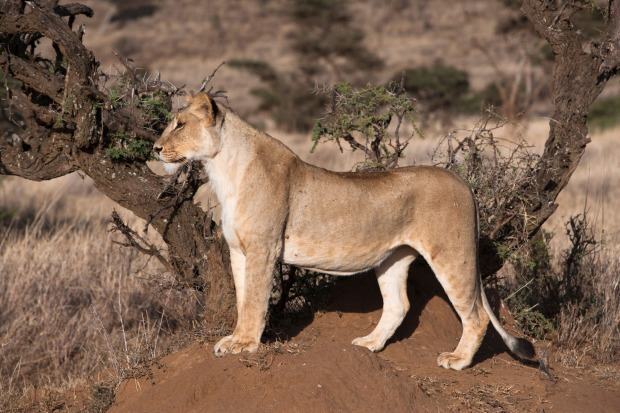 A lioness stalking, Lewa Wildlife Conservancy.