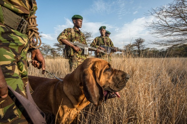 An antipoaching patrol at the Lewa Wildlife Conservancy. Dog handlers use bloodhounds to track poachers.