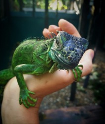 A very inquisitive baby Green Iguana in San Ignacio, Belieze. The Green Iguanas are a threatened species as the females ...
