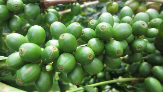 Unripe coffee cherries.