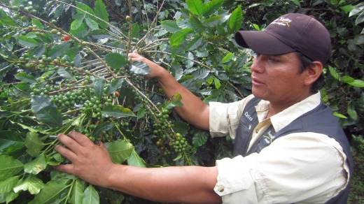 Carlos points out unripe green cherries