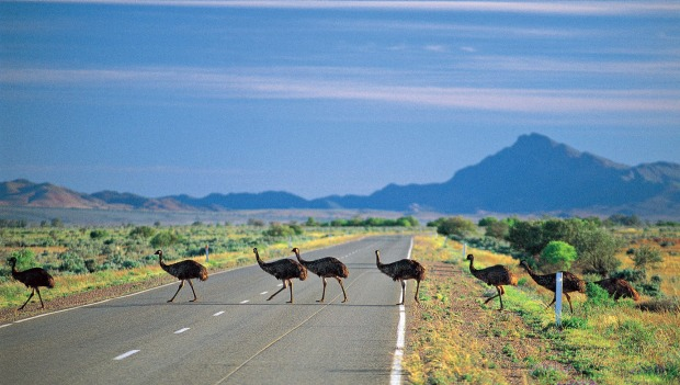 Emus crossing the road in the Flinders Ranges, south of Parachilna.