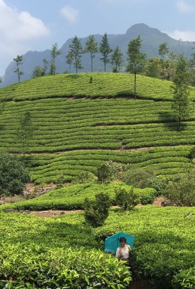 My daughter inspecting the tea leaves in the endless plantations of Munnar, Kerala a few weeks ago.On our way there from ...