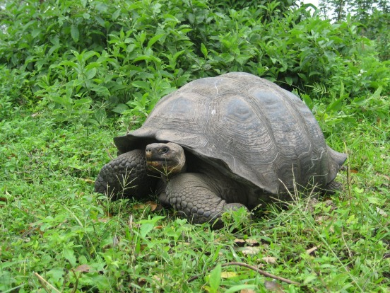 Giant tortoise on the Galapagos Islands.
