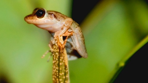 Coqui perched in the middle of the rainforest.