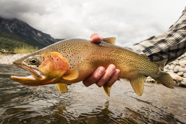 A man holding a large cutthroat trout, Canada.