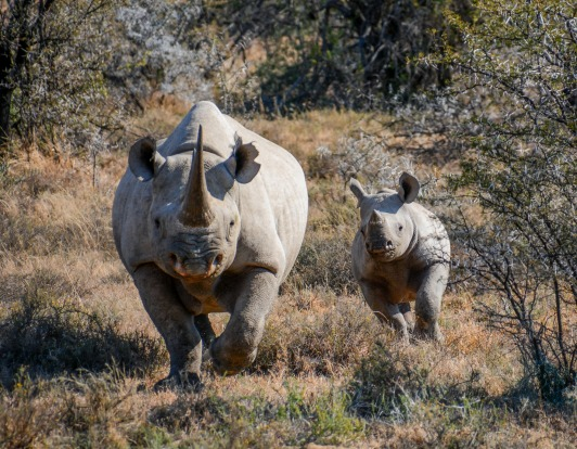 A Black Rhinoceros mother and six month old calf in the Eastern Cape, South Africa. A walking safari is both frightening ...