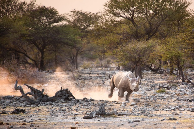 Black rhino in Etosha National Park. A walking safari is both frightening and exhilarating. Being steps from a wild ...