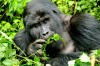 GORILLA ENCOUNTER, UGANDA. Tracking gorillas in dense rainforest is thrilling and slightly unnerving, but when you come ...