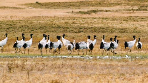 Black-necked cranes in Phobjika Valley.