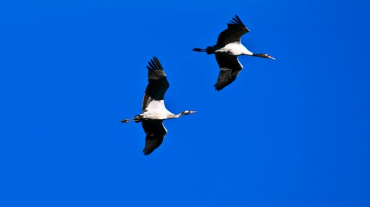 Each year the black-necked cranes fly over the Himalayas in Tibet, their summer breeding grounds, to winter in the ...