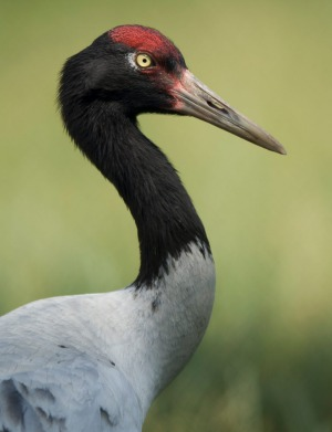 A black-necked crane.