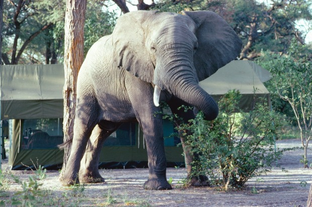 An elephant feeds in a tourist camp, Botswana.