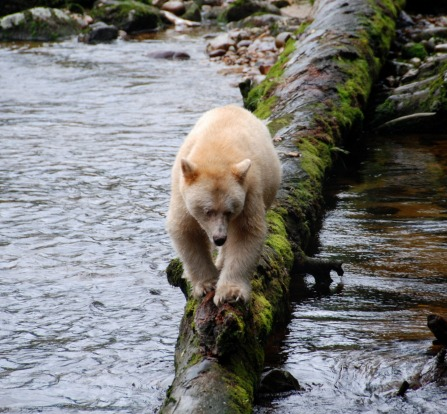 British Columbia's Great Bear Rainforest is like a portal into a parallel world.