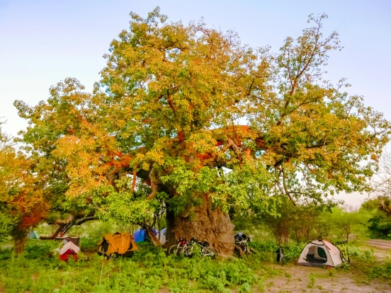 This is living: Camping under a baobab tree in Botswana's Okavango Delta.