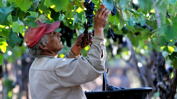 Picker during the vintage of Syrah grapes on the Carinae vineyard in Maipu, Mendoza Province, Argentina.